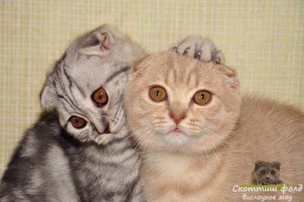 Правда ли, что лучше иметь две кошки, чем одну