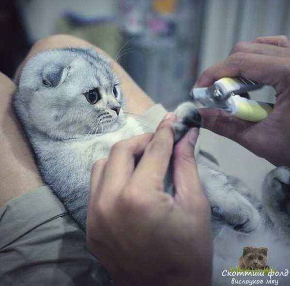 обрезание когтей вислоухому коту