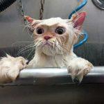 Как помыть кошку быстро и относительно безопасно - план действий