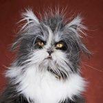 Седеют ли кошки с возрастом?