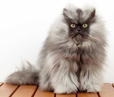 Какой длины была шерсть у самого длинношерстного кота в мире - Полковника Мяу?
