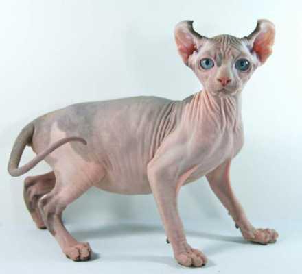 Эльфы существуют! – одна из самых новых и интересных пород кошек. За что она получила свое название?