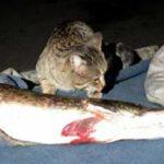 Кот-милиционер Русик - как спасенный питомец помогал искать контрабандную рыбу и икру