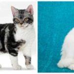 6 новых пород кошек, о которых Вы, скорее всего, не слышали