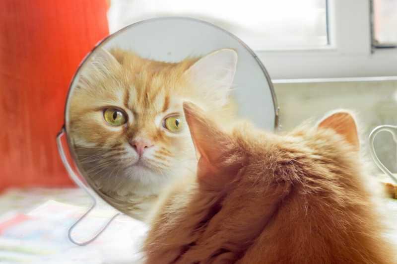 Может ли кошка узнать себя в зеркале?