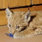 История длиною в 13 лет - чем закончилось подселение обычной домашней кошки в вольер рыси в Санкт-Петербурге