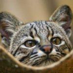 ТОП-5 диких кошек, которые подходят для домашнего содержания