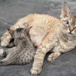ТОП-6 пород кудрявых кошек