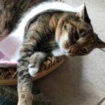 Маленькая модница, настоящая девочка – кошка не может обойтись без этого предмета одежды и постоянно ходит в нем