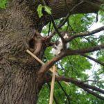 Он выбрал иной путь: родился в дупле, живет на дереве – история уникального «древесного» кота Бориса
