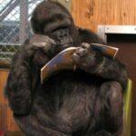 У гориллы не было родных детей, и на День Рождения ей подарили коробку с котятами - что из этого вышло