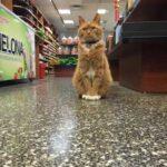 Лучший работник магазина - кот приходит в магазин каждый день уже на протяжении 9 лет - зачем ему это?