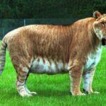 Настоящий исполин - самый крупный котик на Земле по состоянию на 2020-ый год - кто он и какие у него размеры?