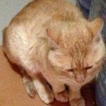 Рыжий, рыжий, бесхвостатый: про кота без хвоста. Зачем кошкам хвост?