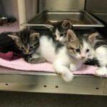 Кошка родила пятерых котят, которые больше похожи на кенгурят – малыши прыгают на задних лапках