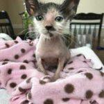 Облысевшей маленькой кошечке оставалось жить неделю - но добрая девушка спасла и выходила ее, теперь кошка красавица
