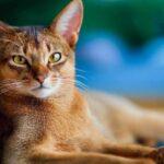 ТОП-5 самых умных пород кошек по версии владельцев