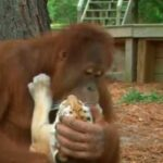 Сотрудники заповедника были тронуты милой картиной - орангутанг обнимал и гладил осиротевших малышей-тигрят