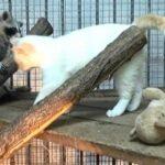 Как простой кот взял на воспитание маленькую енотиху, которую родная мама решила прополоскать в воде
