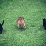 Слепой енот постоянно приходил к женщине за едой, а однажды привел с собой двух маленьких котят - так животные обрели дом