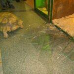 Из иркутского зоопарка попытались сбежать две огромные черепахи - побег не удался, их поймал большой рыжий кот-перехватчик
