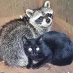 Кот и енот найдены в мусорном контейнере, обнимающимися, чтобы согреться