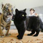 Ваш кот на 95% является тигром
