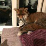 Лисенек пробрался на кухню и устроился отдыхать в кошачьей кроватке - какая была реакция у кота и как он это перенес