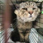 Кот прожил на улице почти 10 лет, а когда его пытались поймать, он избегал всех ловушек зоозащитников - какой он сейчас