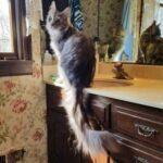 Какой котик является обладателем самого длинного шикарного хвоста и сколько он у него в длину
