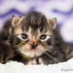 Бабочконосый котик - как сложилась судьба котенка с аномалией в виде носа-бабочки, каким он стал теперь