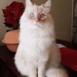 Необычная судьба котика-сибиряка из США - был спасен с улицы, а теперь к нему в гости приходят олени, ежики и белочки